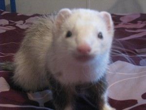 Male Panda Ferret Marshall