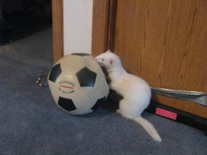Ferret Toy Ball