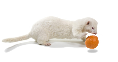 Training your ferret can be part of playtime
