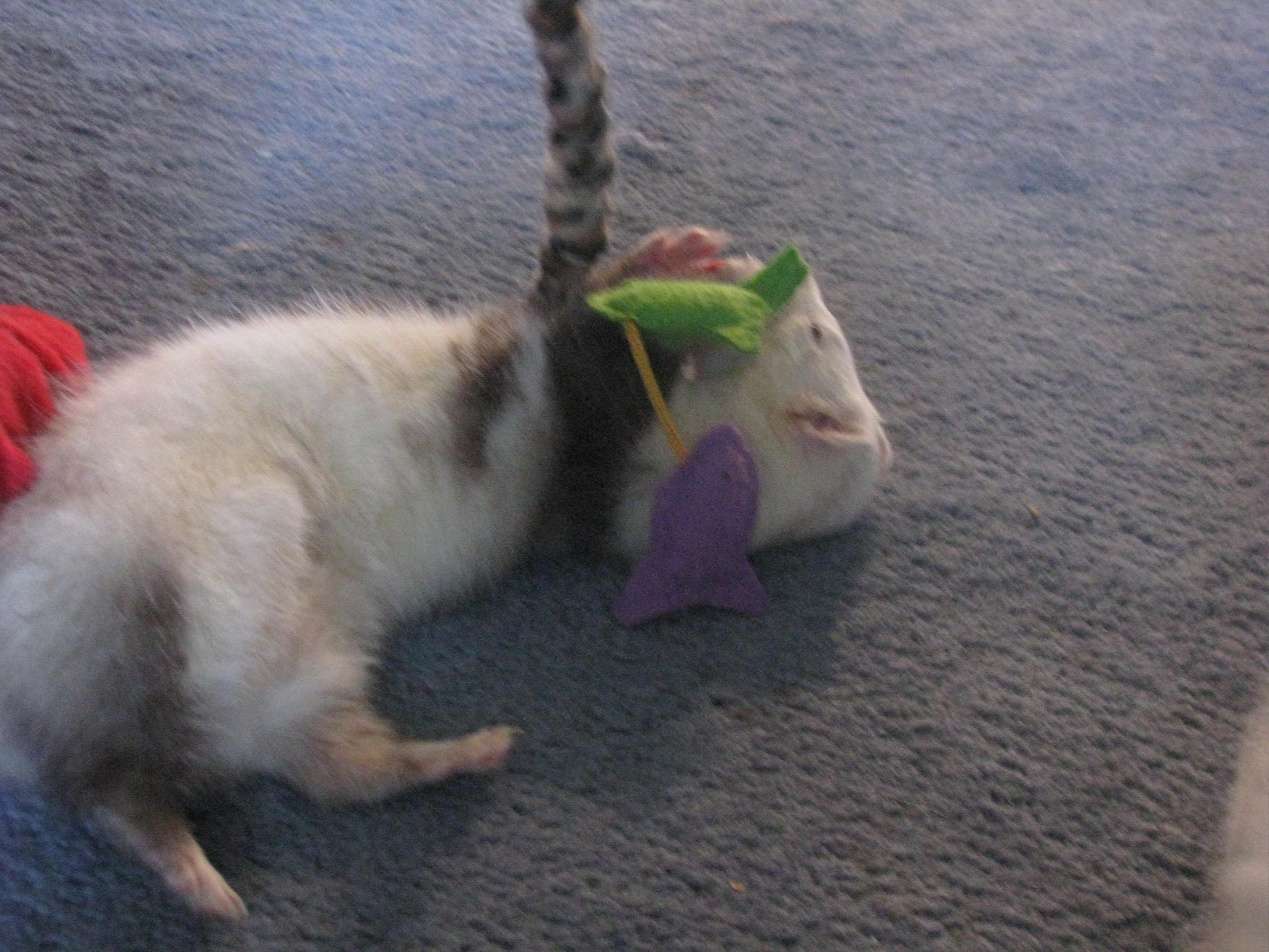 ... and Dangling Ferret Toy