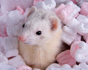 Welcoming a new ferret to your home