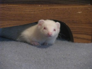 Female Albino Ferret