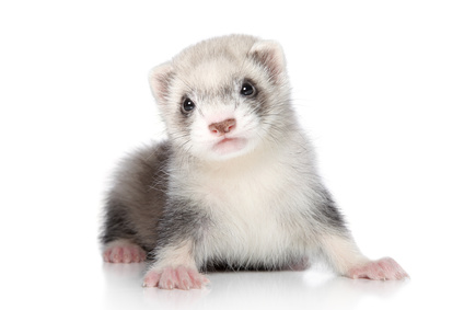 How to adopt a ferret