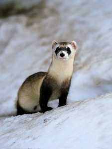 Hard working black footed ferrets are an endangered species