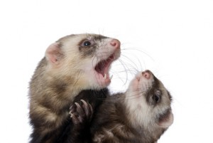 Breeding Ferrets can be dangerous for the mother and newborns
