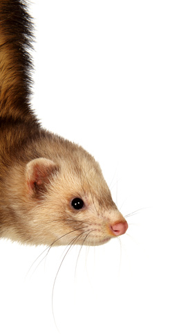 Whole prey is an alternative for feeding your ferret