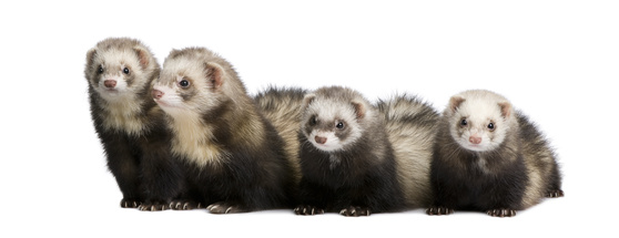 Ferret breeding can be fun and profitable