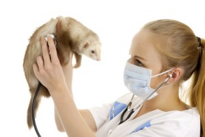 Proper care and feeding are important for your ferret