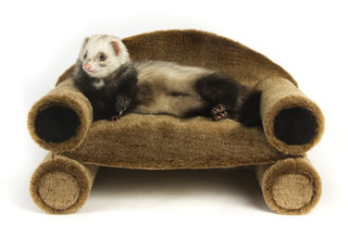 Ferrets like to relax in comfort too!