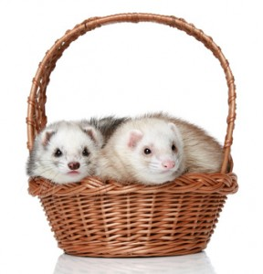 Gifts your ferret will love