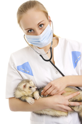 here are several illnesses that can attack your ferret