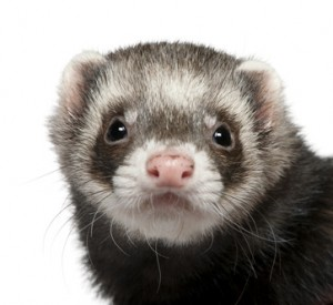 For answers to your ferret questions check out this section
