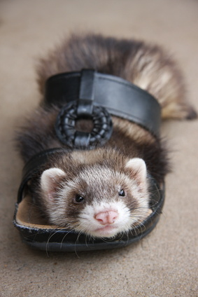 Ferrets sometimes pick their own toys