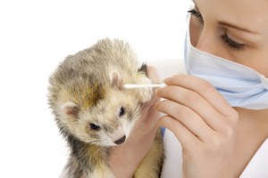 Vaccinations are an important part of good ferret health