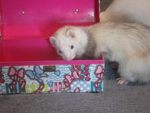 Pet Ferret Playing