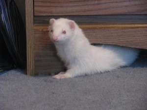 Riki and albino ferret
