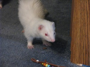 Albino Ferret Playing