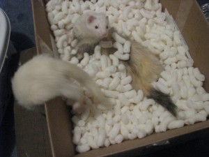 Ferrets Playing in Box