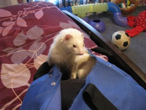 Happy Panda Ferret in Bag
