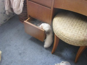 Ferret Looking for Something to Steal