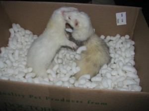 Ferrets Playing and Exercising
