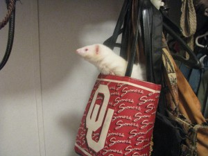 Albino Ferret in Purse