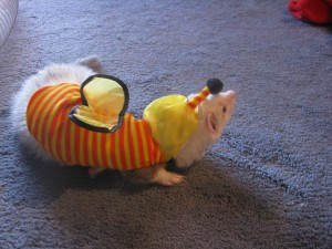 Cute Panda Ferret in Costume