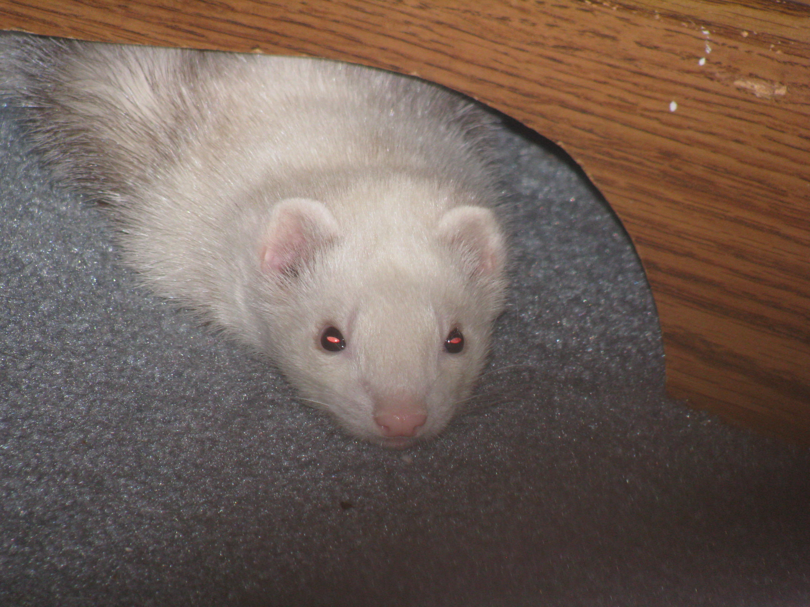 Are Ferrets Good Pets for Children? | The Ferret Zone