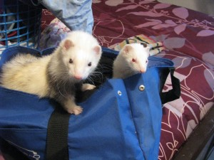 Happy Pet Ferrets