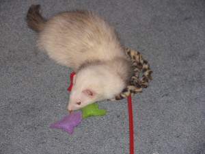 Ferret Playing with Cat Toy
