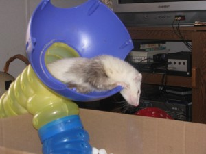 Possum, My Male Panda Ferret