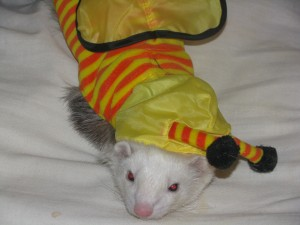 Ferret in Bumble Bee Costume