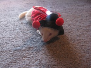 Ferret in Lady Bug Costume