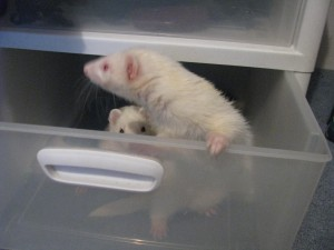 Panda Ferret and Albino Ferret Playing