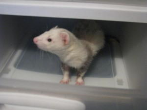 Panda Ferret in Plastic Drawer
