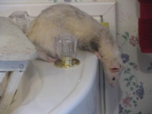 Pet Ferret on Bath Tub