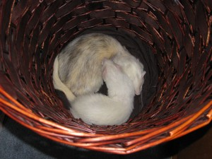 Pet Ferrets Sleeping in Laundry Basket