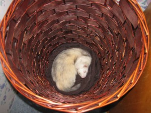 Panda Ferret in Laundry Basket