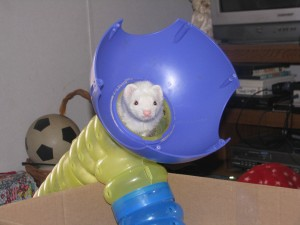 Panda Ferret Playing in Ferret Toy Tunnel