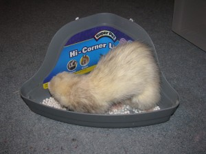 Panda Ferret in Litter Pan