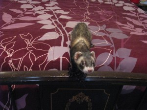 Loki - New Pet Ferret
